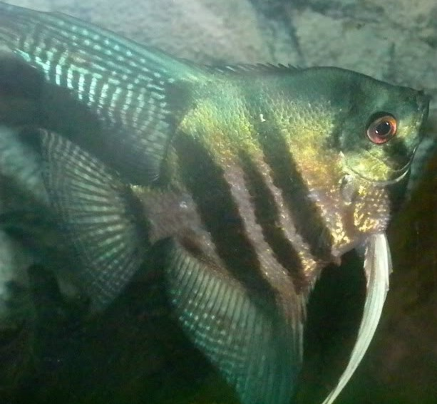 Angelfish - Pinoy Green - Medium - Quanitity of 5